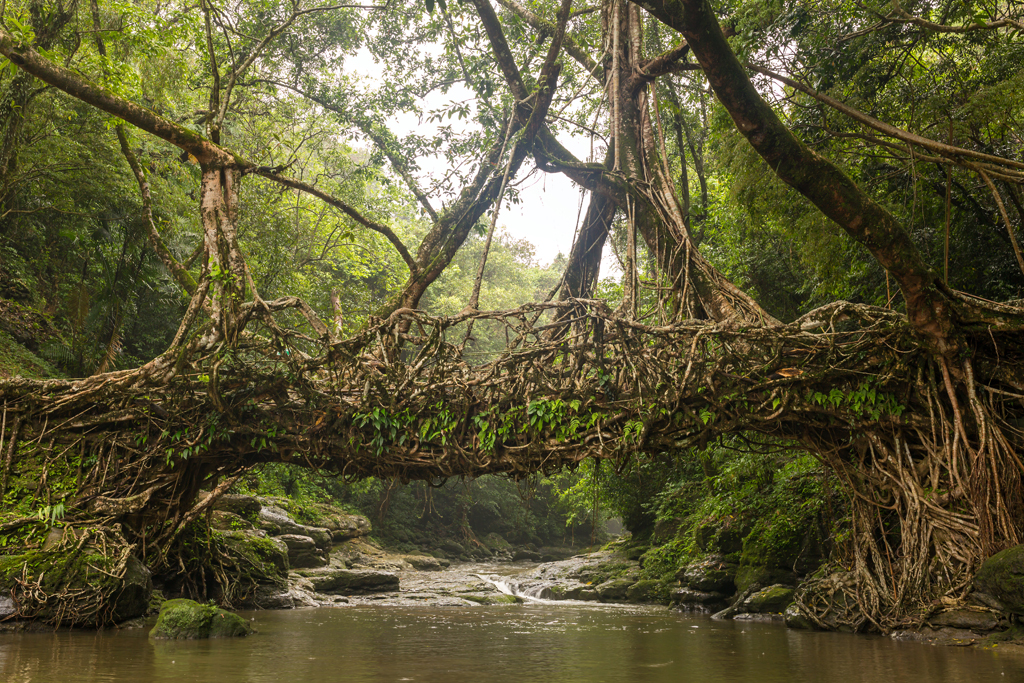 One of the many living root bridges in Meghalaya