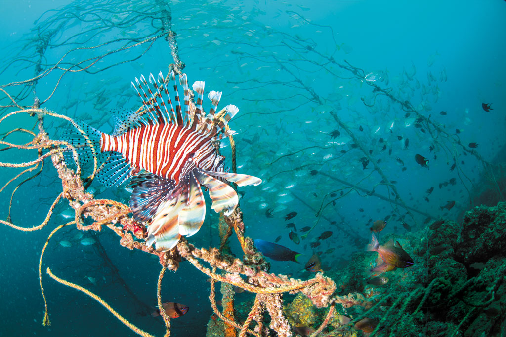 A lionfish swims over one of the rock stacks. Ropes leading to a large buoy near the surface keep the submerged rocks in a pile, creating greater relief above the surrounding sand flat. Closer to the surface, trevally and moonfish cluster around the ropes