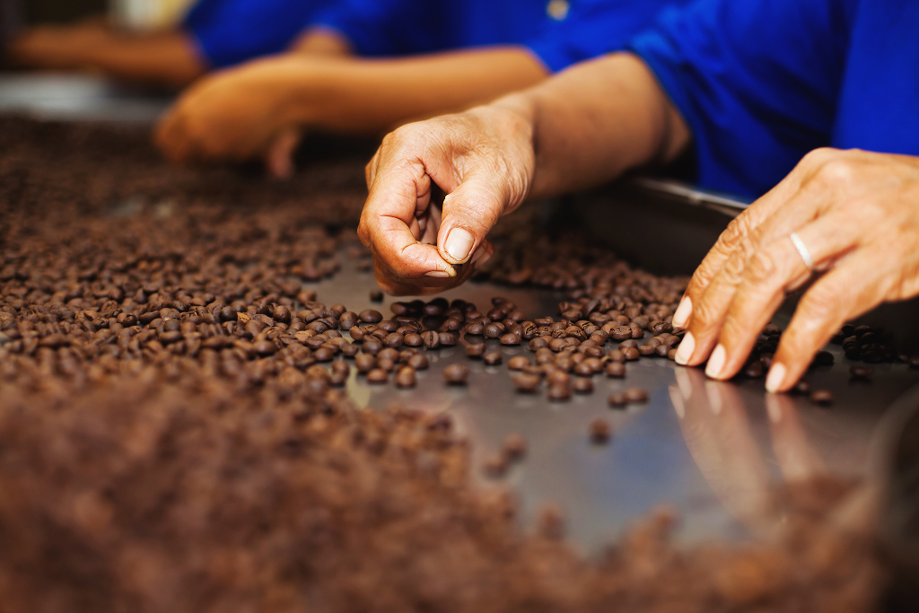 Cocoa beans being carefully selected