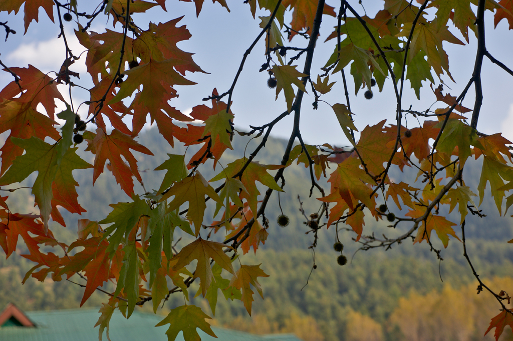 Kashmir is filled with Chinar leaves