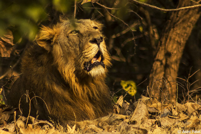 See lions in the wild in Gujarat